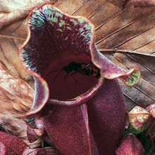 Purple Pitcher Plant (Sarracenia purpurea), Living