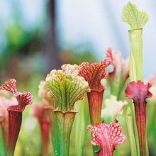 Red Trumpet Plant, (Sarracenia rubra), Living