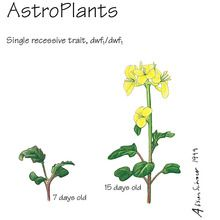 Wisconsin Fast Plants® AstroPlants, Seeds