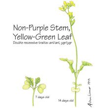 Brassica rapa (Wisconsin Fast Plants®), Non-Purple Stem Yellow-Green Leaf Seed, Pack 50