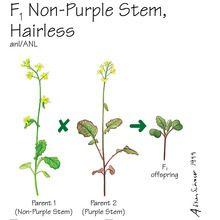 Wisconsin Fast Plants&reg; F<sub>1</sub> Non-Purple Stem, Hairless Seed (F<sub>1</sub> Anthocyaninless, Hairless), Pack of 200