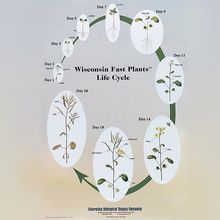 Wisconsin Fast Plants® Poster