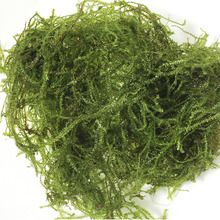 Christmas Moss, Living, 200-mL Unit