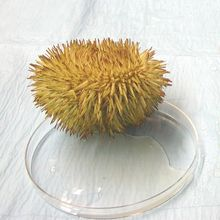 Sea Urchin, Living, Pack of 5