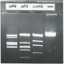 Restriction Enzyme and DNA 8-Station Kit with Ethidium Bromide - DNA and Enzyme Refill