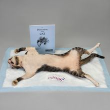 Skinned Cat Anatomy Kit