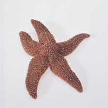 Formalin Preserved Starfish (Asterias or Pisaster)