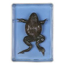 Carolina's Perfect Solution® Bullfrog, 6