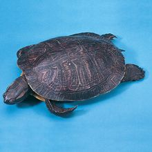 "Formalin Turtle, 5""+, Double Color Injection, Pail"