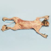Formalin Skinned Cat, 14 to 18