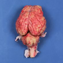 Formalin Sheep Brain, Dura Mater Removed, Single Injection, Pail