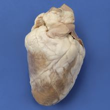 Formalin Sheep Heart, Plain, Bulk Bag