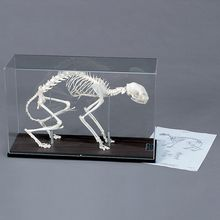 Cat Skeleton, Articulated, with Cover