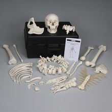 3B® Disarticulated Human Half Skeleton with Storage Case