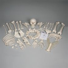 3B® Disarticulated Human Skeleton