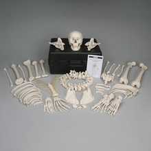 3B® Disarticulated Human Skeleton with Storage Case