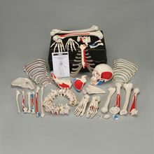 3B® Disarticulated Human Muscular Skeleton with Storage Case