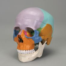 Three-Part Colored Human Skull