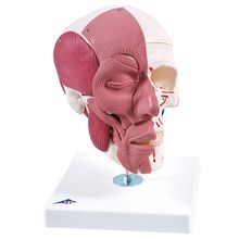 3B® Human Skull with Facial Muscles