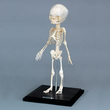 Human Fetal Skeleton, Articulated, Plastic