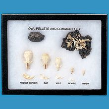 Owl Pellets and Common Prey Biorama