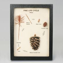 Pine Life Cycle Biorama