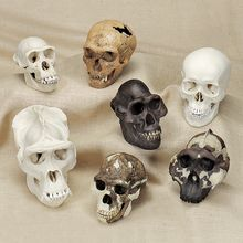 Early Man and Primate Skull Comparison Set