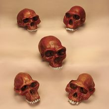 Anthropology Cranium Set
