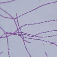 Bacillus anthracis, w.m. Microscope Slide