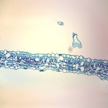 Tobacco Mosaic Virus, Microscope Slide