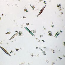 Marine Diatoms Slide, w.m.