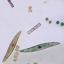 Freshwater and Marine Diatoms, w.m. Microscope Slide