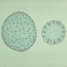 Typical Monocot and Dicot Stem Slide, c.s., 12 µm