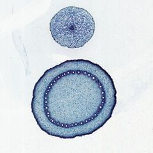 Monocot and Dicot Roots, c.s., 12 µm Microscope Slide