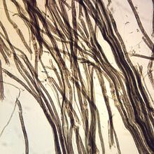 Mammal Nerve Fibers, teased Microscope Slide