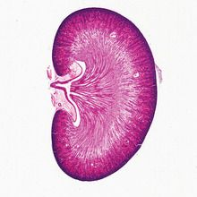 Mammal Kidney, median sag. sec. 7 µm H&E Microscope Slide
