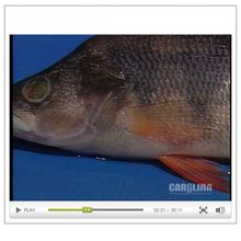 Perch Anatomy: External Anatomy Video