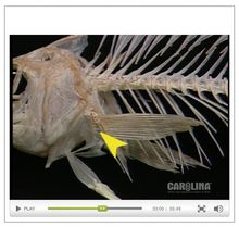 Perch Anatomy: Skeletal, Muscular, & Respiratory Systems Video