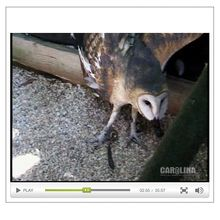 Barn Owl Hunting Habits & Digestion Video