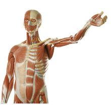 Somso® Human Male Muscular Model, Removable Arms