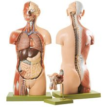 Somso® Human Torso Model with Head and Open Back