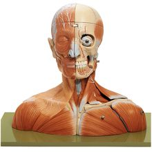 Somso® Human Head and Neck Model