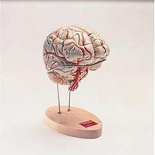 Denoyer-Geppert Deluxe Human Brain with Arterial Blood Supply Model