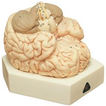Somso Human Brain Model, 2 Parts