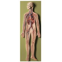 Somso® Human Circulatory System Model
