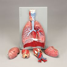 Altay Human Respiratory System Model, 7-parts
