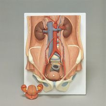 3B Human Male and Female Urinary System Model