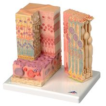 3B® Eye Microanatomy Model