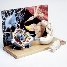 Denoyer-Geppert 3-D Human Motor Neuron Model