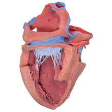 3-D Printed Internal Heart Structures Model